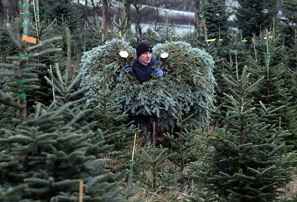 Christmas Tree Farmers Enjoy Bumper Harvest