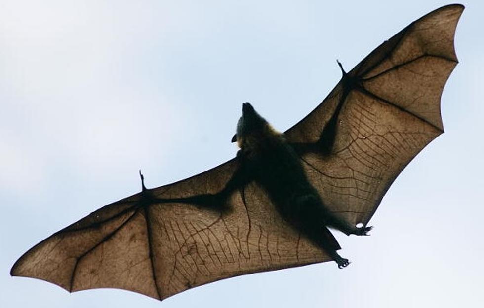 national bat appreciation day - Picture Of A Bat
